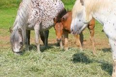 Os cavalos comem o feno Fotos de Stock Royalty Free