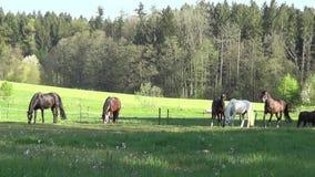 Os cavalos correm livre e pastando no pasto filme