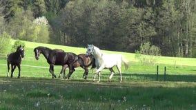 Os cavalos correm livre no movimento lento do pasto vídeos de arquivo