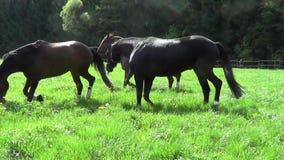 Os cavalos correm livre no prado video estoque