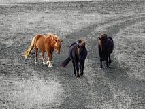 Os cavalos curiosos estão obtendo mais perto Fotografia de Stock