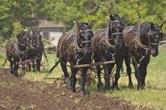 Os cavalos de arado Team arando o campo de milho da exploração agrícola Imagens de Stock Royalty Free