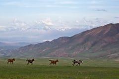 Os cavalos de galope em um fundo das montanhas em Quirguizistão Foto de Stock Royalty Free