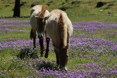 Os cavalos de Przewalski Imagem de Stock