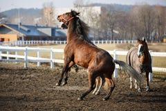 Os cavalos de salto Fotos de Stock