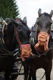 Os cavalos de trabalho estão comendo imagem de stock