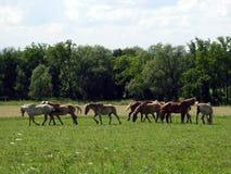 Os cavalos do trabalho de Amish relaxam no campo imagens de stock