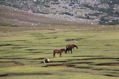 Os cavalos estão pastando em um campo imagem de stock