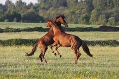 Os cavalos fazem correria em um campo Fotos de Stock Royalty Free