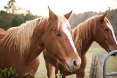 Os cavalos fecham-se acima Imagens de Stock Royalty Free
