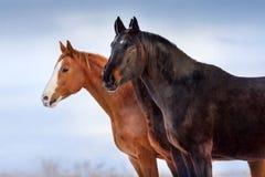 Os cavalos fecham-se acima do retrato contra o céu azul Imagem de Stock
