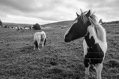 Os cavalos islandêses Foto de Stock Royalty Free