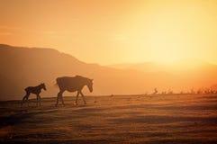 Os cavalos mostram em silhueta no por do sol Fotos de Stock Royalty Free