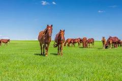 Os cavalos na pastagem de Hulunbiur Fotos de Stock