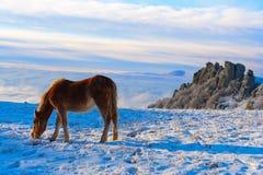 Os cavalos nas montanhas estão procurando o alimento sob a neve fotos de stock royalty free