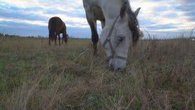 Os cavalos no prado do outono video estoque