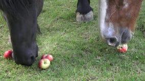 Os cavalos no rancho comem maçãs O retrato de um cavalo come as maçãs, alimentando filme