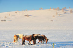 Os cavalos nos snowfileds Foto de Stock Royalty Free