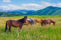 Os cavalos são pastados em um prado Imagem de Stock Royalty Free