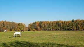 Os cavalos pastados em um prado Imagem de Stock