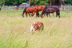 Os cavalos pastam no prado verde fotos de stock