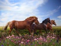 Os cavalos que saltam em um prado de florescência Foto de Stock Royalty Free