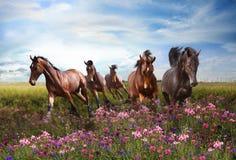 Os cavalos saltam rapidamente em um prado de florescência Fotos de Stock Royalty Free