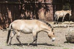 Os cavalos selvagens de Przewalski no jardim zoológico Fotos de Stock