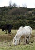 Os cavalos selvagens em Askham caíram 2 foto de stock