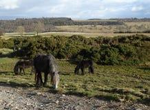 Os cavalos selvagens em Askham caíram 1 fotografia de stock royalty free