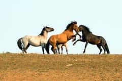 Os cavalos selvagens/garanhões do mustang que lutam no cavalo selvagem das montanhas de Pryor variam na beira de estado de Wyomin foto de stock