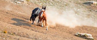 Os cavalos selvagens/garanhões do mustang que lutam no cavalo selvagem das montanhas de Pryor variam na beira de estado de Wyomin Fotografia de Stock Royalty Free