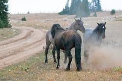 Os cavalos selvagens/garanhões do mustang que lutam no cavalo selvagem das montanhas de Pryor variam na beira de estado de Wyomin Imagens de Stock Royalty Free