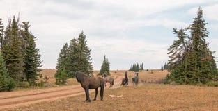Os cavalos selvagens/garanhões do mustang que lutam no cavalo selvagem das montanhas de Pryor variam na beira de estado de Wyomin Fotografia de Stock