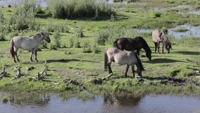 Os cavalos selvagens pastam e comem a grama no prado no lago, Letónia vídeos de arquivo