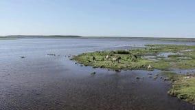 Os cavalos selvagens pastam e comem a grama no prado no lago, Letónia video estoque