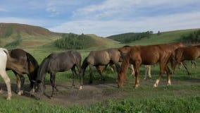 Os cavalos selvagens pastam em um prado video estoque