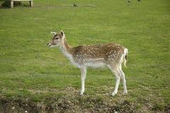Os cervos Fotografia de Stock