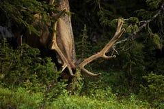 Os cervos Fotografia de Stock Royalty Free