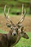 Os cervos Foto de Stock