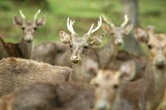 Os cervos Imagens de Stock