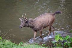 Os cervos Fotos de Stock Royalty Free