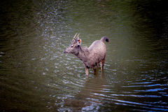 Os cervos Foto de Stock Royalty Free