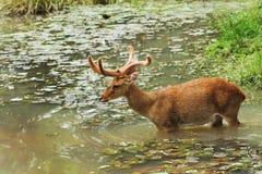 Os cervos andam na água Foto de Stock Royalty Free