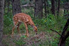 os cervos AWhite-atados fawn o virginianus do Odocoileus na floresta em Canadá fotos de stock royalty free