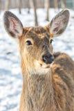 Os cervos bonitos na neve aterram, olhares altos novos dos cervos em nós fotos de stock royalty free