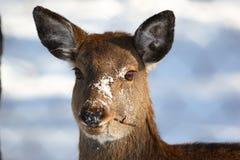 Os cervos comem o galho imagem de stock