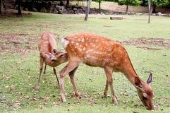 Os cervos das crianças são leite bebendo fotos de stock