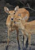 Os cervos de Eld que mostram o amor Foto de Stock Royalty Free