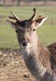 Os cervos de Fallow fecham-se acima Imagem de Stock